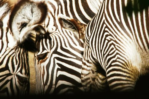 zebras animals nature