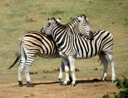 zebras animal mammal