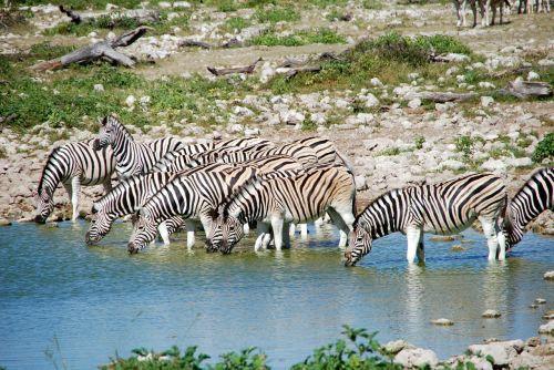 zebras potions africa
