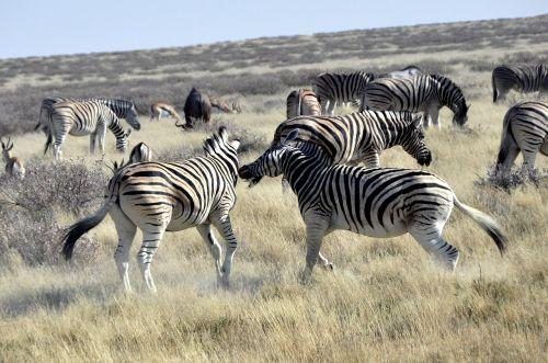 zebras fight africa