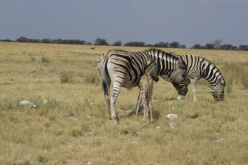 zebras steppe africa