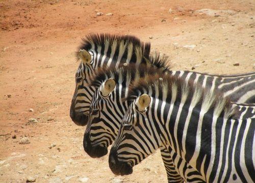 zebras safari africa