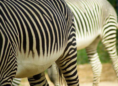 zebras stripes ruminant