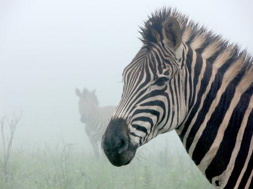 Zebras In Mist