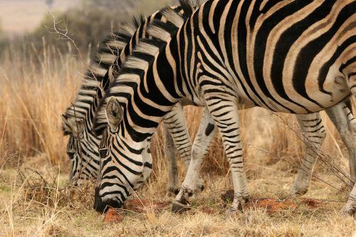 Zebras Side By Side