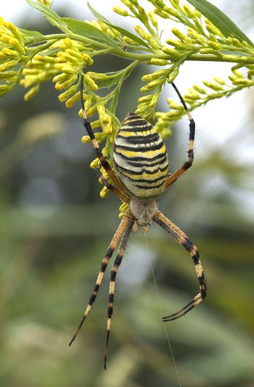 zebraspinne spider tiger spider