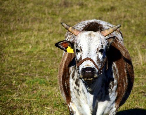 zebu cow beef