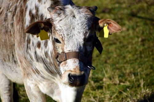 zebu beef cow