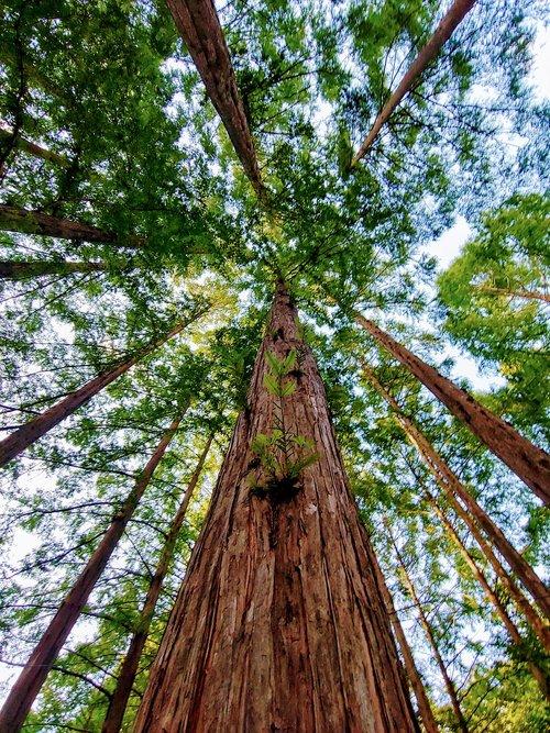 zhang taishan  meta sequoia  wood