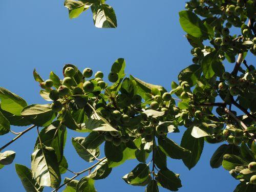 zieraepfel wild apples ornamental apple tree