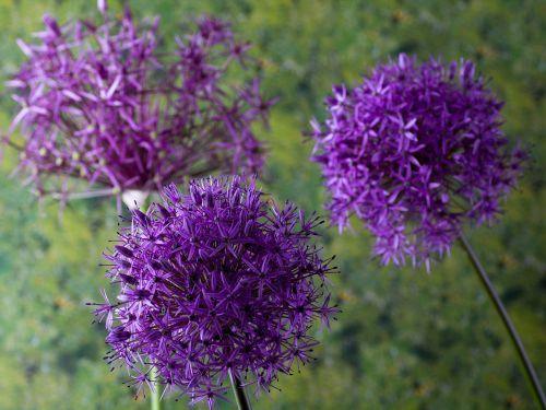 zierknoblach ornamental onion flower garden