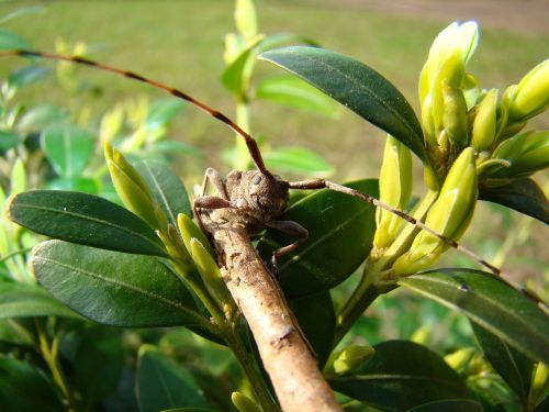zimmermann bock zimmermann longhorn beetles beetles
