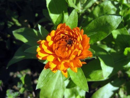 zinie blossom bloom
