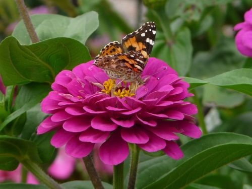 zinnia butterfly forage