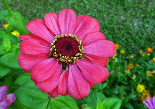 zinnia flower flora