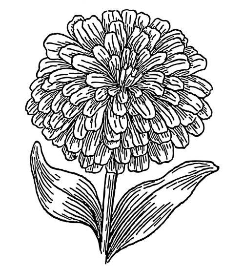 zinnia flower bloom