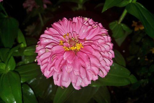 zinnia,gėlė,sodas,sodininkystė,rožinė gėlė,geliu lova,žydi,žydėti,žiedlapiai,gėlių,žiedas,žydėjimas,botanikos,botanikos,asteraceae,asterales,magnoliopsida,planta