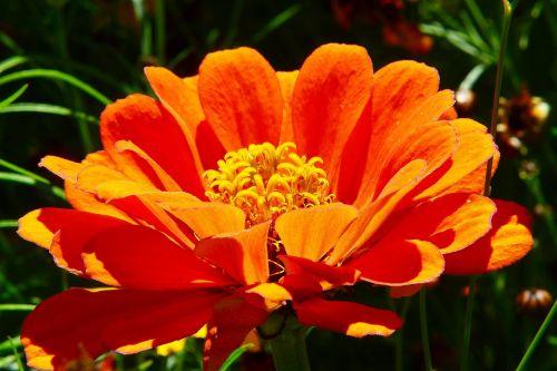 zinnia orange flower meadow