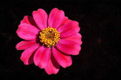 zinnia flower garden blossom