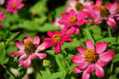 išdalytas, kompozitai, Asteraceae, gėlės, žydi, spalvinga, žiedas, žydi, rožinis, pobūdį, floros, Sodas vasarą