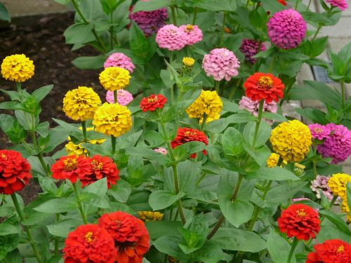 zinnia flowers colorful