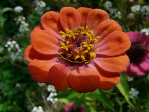 zinnia blossom bloom