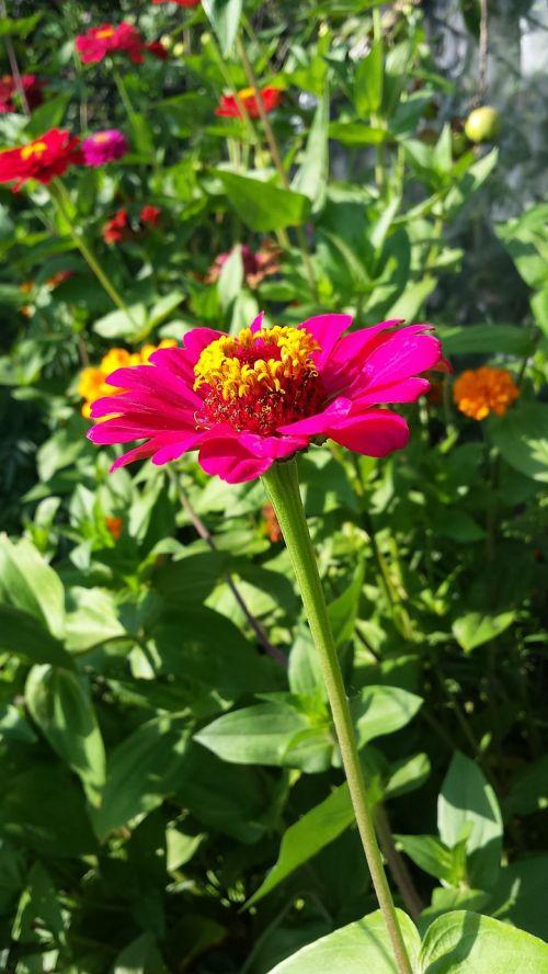zinnia majors flowers