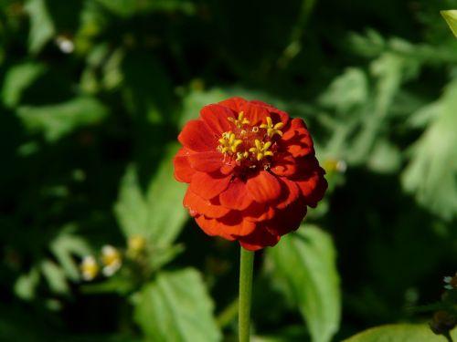 zinnia zinnia violacea flower