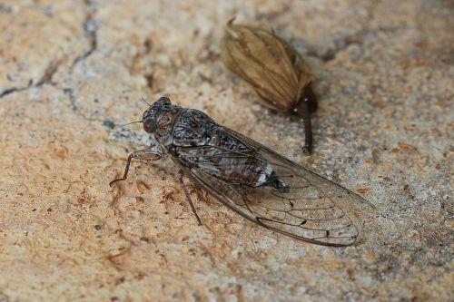 zirkade insect greece