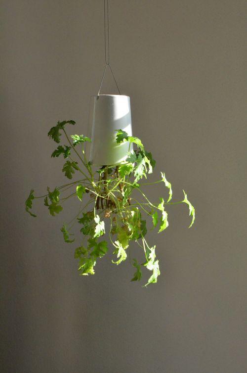 zitronengeranium plant hanging