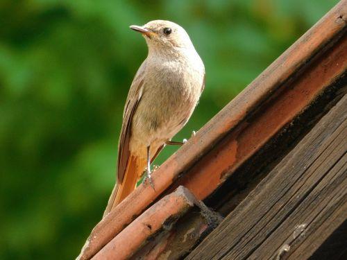 žltochvost house phoenicurus ochruros bird