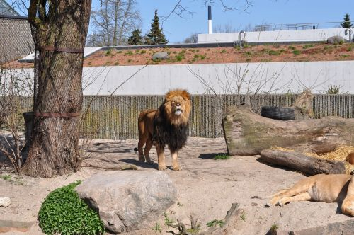 zoo male lion expensive