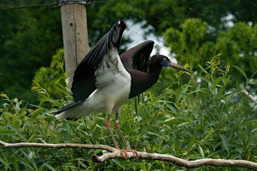 zoologijos sodas,zoologijos sodas,zoologijos sodas,paukštis,gyvūnas,gilus n,vltavou,sparnai,snapas