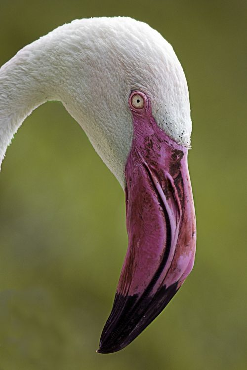 flamingo bird pink beak