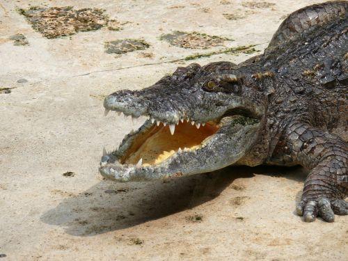 crocodile zoo reptile