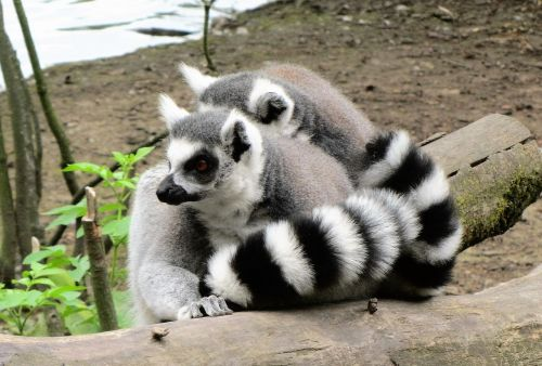 zoo ring-tailed lemur monkey
