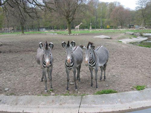 zoo zebras outdoor enclosures