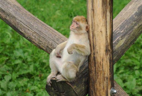 zoo monkey observing