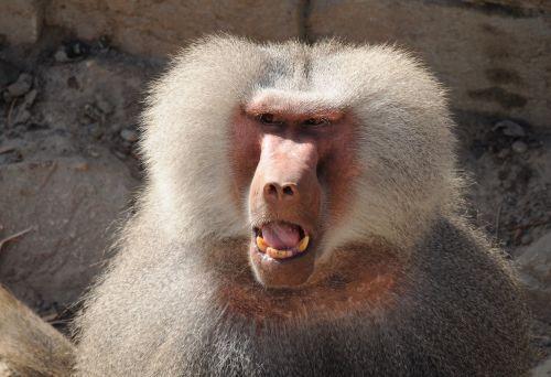 zoo ape baboons