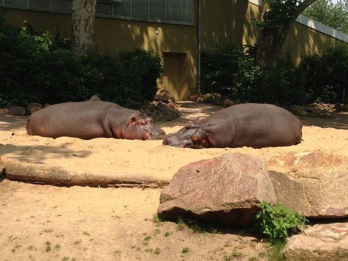 zoo hippos germany