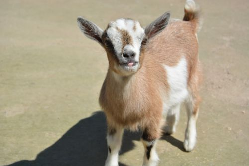 zoo goat young goat