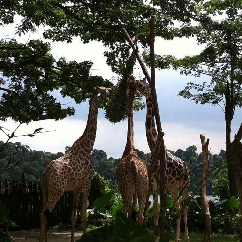 zoo giraffes trees