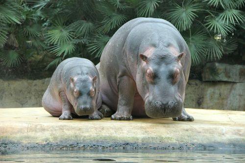 zoo animals hippos