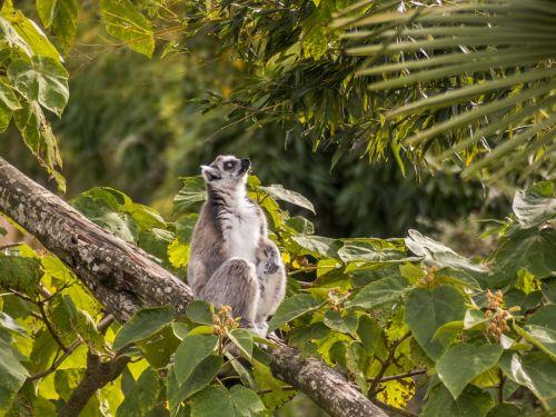 zoo maki catta lemur