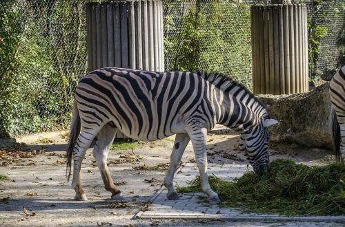 zoo zebra vienna