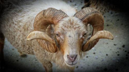 zoo horns bock