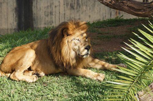 zoo lion carnivore