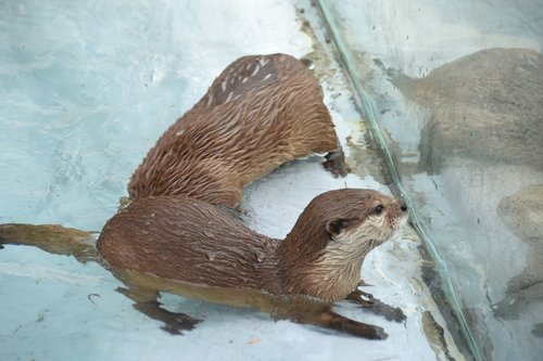 zoo  the spectator  otter