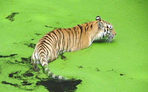zoo  tiger  predator