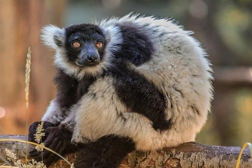 zoo  maki  lemur